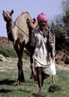 Camel swain